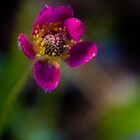 Pacific Anemone - Red Mountain Pass by Susan Humphrey