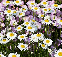Shasta Daisies with Pink Musk Mallow Flowers by Kenneth Keifer