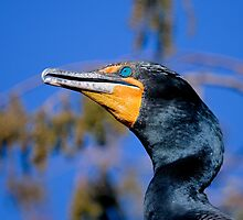 Double-crested cormorant, phalacrocorax auritus by Arto Hakola