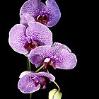 Purple orchid by Kevin Allan