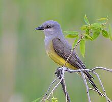 Western Kingbird by osprey-Ian