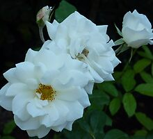 The White Roses of Cap Ferrat by Fara