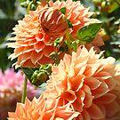 Botanical Floral nature art prints canvas Orange Dahlia Flowers by BasleeArtPrints