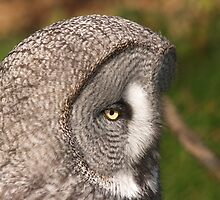Great grey owl by weecritter