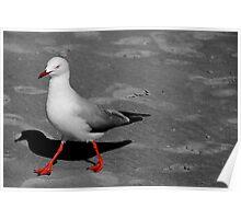 Red Legged Seagull Poster