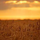 Golden Fields by Roxanne Persson