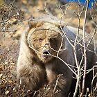 Brown Bear in Denali by Clemsonpilot