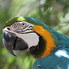 Blue macaw by Denzil