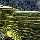rice terraces or rice fields carved on mountains by lensbaby