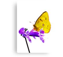 Orange Sulphur butterfly (Colias eurytheme) Canvas Print