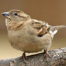 Cute Little Sparrow by Bine