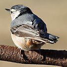 Nuthatch by Bine