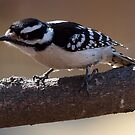 Downy Woodpecker by Bine