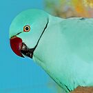 &quot;Blue, Indian Ringneck&quot; - Peel Zoo, Western Australia. by Toni Kane