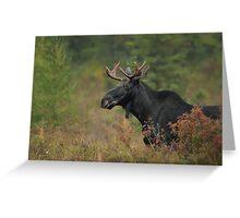 Bull Moose In Marsh Greeting Card