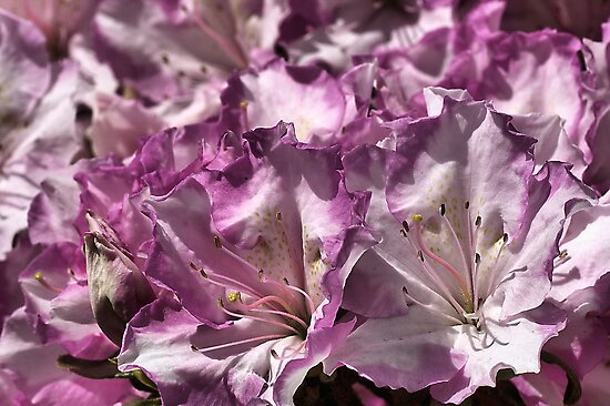 Fun with  Azaleas by Joy Watson