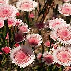 Albany Daisy by kalaryder