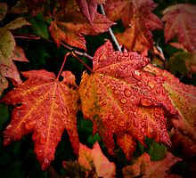 It's Show Time ~ Vine Maple ~ by Charles & Patricia   Harkins ~ Picture Oregon