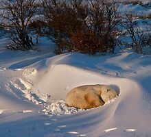 Yoga Bear savasana by Owed to Nature