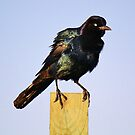 Grackle by Paulette1021