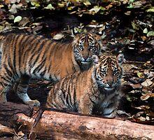 Sumatran cubs by Gerard Rotse