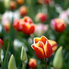Tulip by Ashlee Betteridge