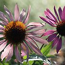Echinacea (Coneflower) - Morning Sunlight by T.J. Martin