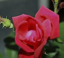 A Rose For Diane by WeeZie