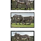 Fighting Zebras Triptych by Sheila Laurens