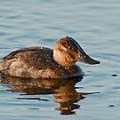 Ruddy Duck by Michael Mill