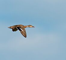 Mallard Duck in Flight by Michael Mill