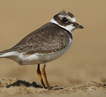 Semipalmated Plover Full Frame by Bill McMullen