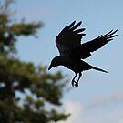 Corvus.... sky dancing by RichImage
