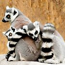 Ring-tailed Lemur huddle by Sheila Laurens
