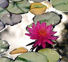 Lilly pad by natasha007