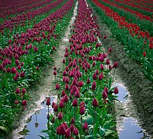 Tulips & Soil by Inge Johnsson