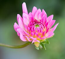 Charming Young Dahlia by PCChang