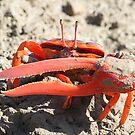 crab by birdpics