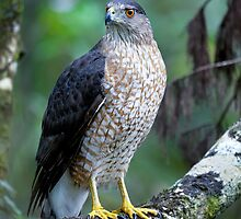 Coopers hawk, accipiter cooperii by Arto Hakola