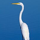 Ardea alba, great egret by Arto Hakola