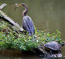 Anhinga with Fish by Paulette1021