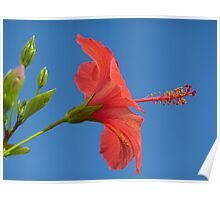 Blue Sky And Hibiscus Poster