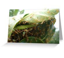 Green Ants making nest - Kennedy, North Queensland, Australia Greeting Card