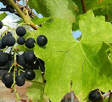 Black Grapes! by weecritter