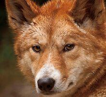 Wild Faces: Dingo by Christopher Ashdown