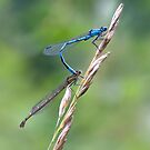Damselfly Embrace by Rachael Talibart