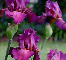 Bearded Iris - Lady Friend by Gabrielle  Lees