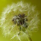 """Sphere""  Seeds of the Dandelion Plant by Anita  Fletcher"