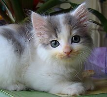 Ta Dah, introducing Lacy's kitten...Shiver! by PatChristensen
