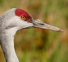 Sandhill Crane Close-Up by MaluC